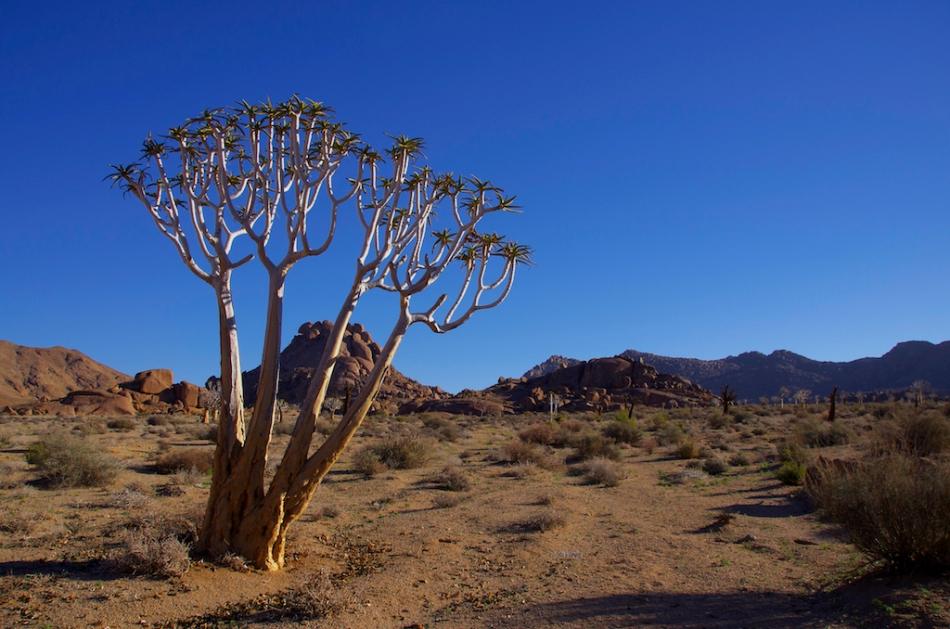 Richtersveld kokerboom.jpg